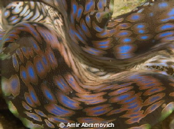 close up on a gaint clam lips by Amir Abramovich 